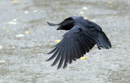 crow-Getty.jpg