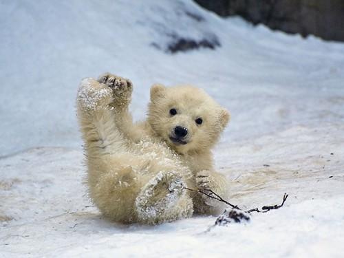 urso-polar.jpg