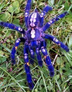 Aranha ornamental do Sri Lanka.jpg