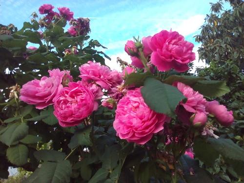 Rosas no quintal Foto original DAPL 2016.jpg