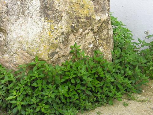 Alfavaca De Cobra Parietaria Judaica Plantas Aromaticas Bio