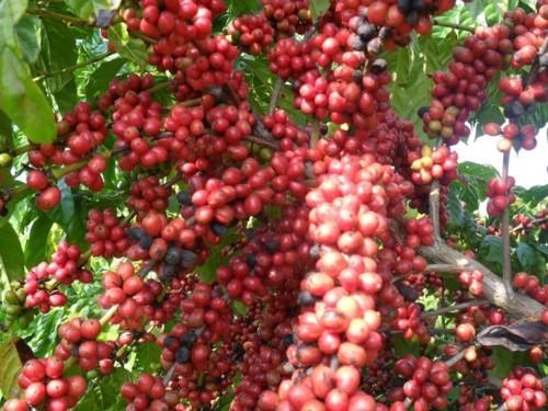 cafe arabica catura.jpg