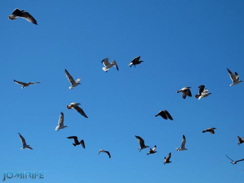 Gaivotas no céu a voar [en] Seagulls in the sky flying