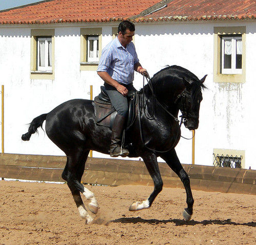 0 800px-Dressage_stallion_3.jpg