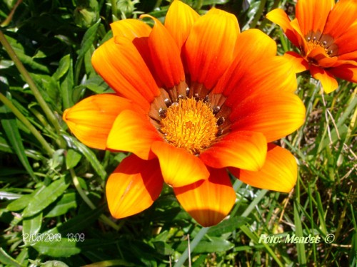 Cerva - A Beleza das Flores - Estrela do Meio Dia.