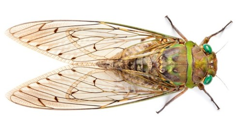 zp_cicada-from-borneo_copyright-photographer-alex-