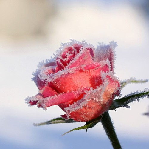 rose-inverno_NG1.jpg