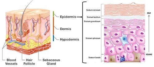 estrutura pele epiderme.PNG