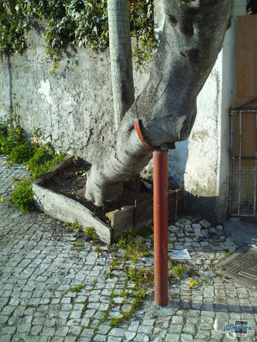 Uma velha árvore que precisa de uma muleta