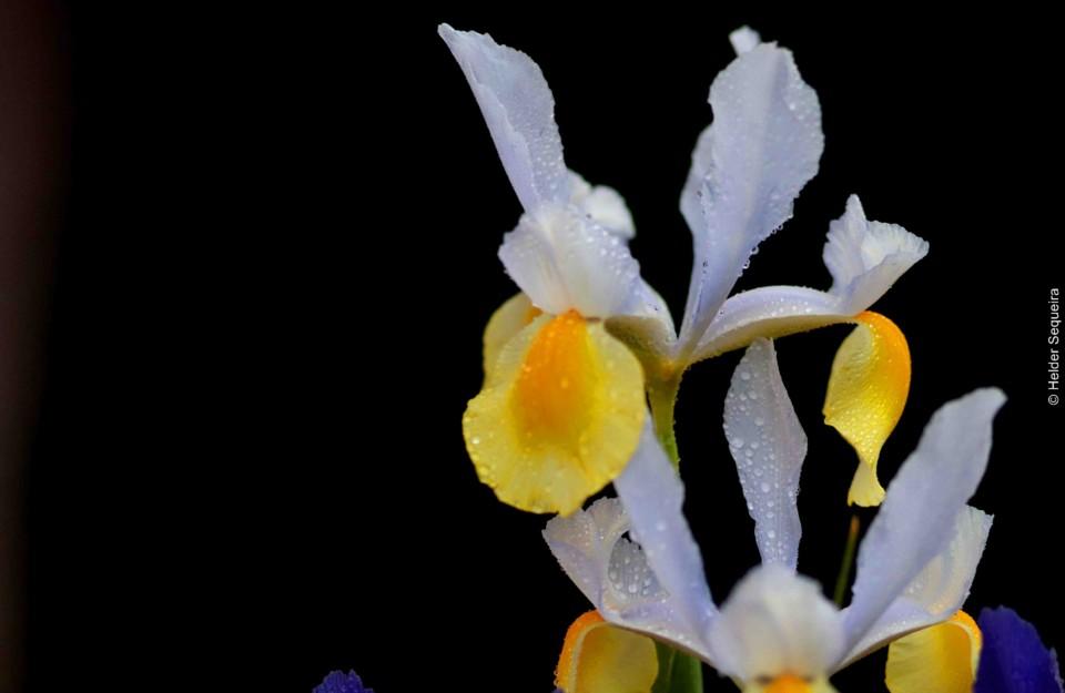 Flor - Foto Helder Sequeira.jpg