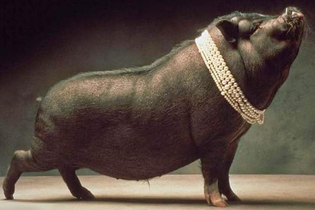 Pérolas a porcos.jpeg