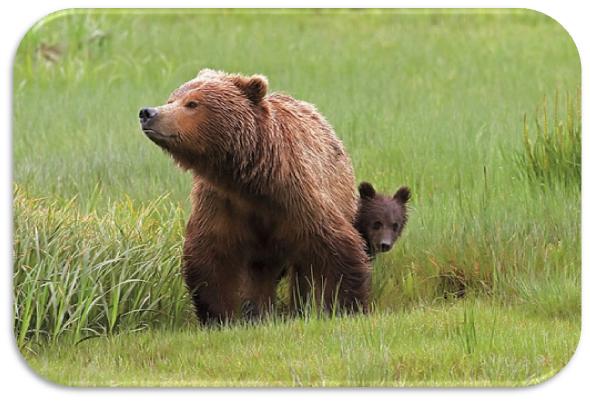 ursos castanhos